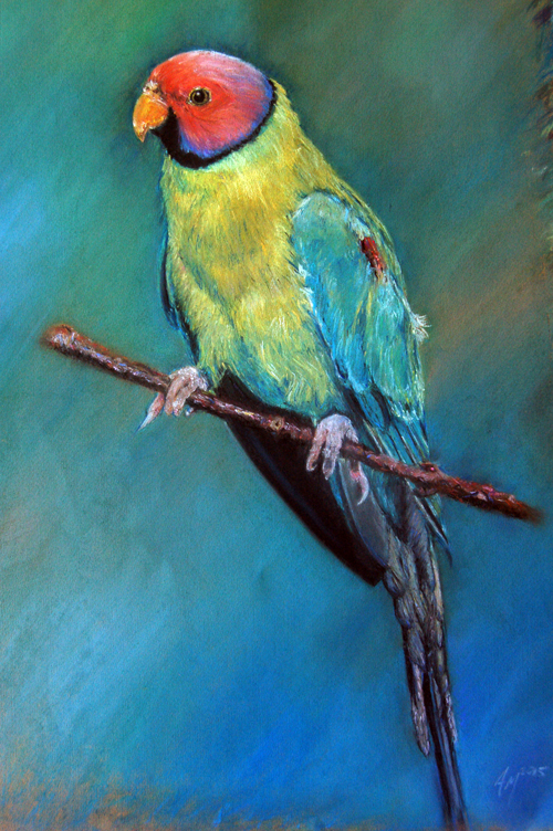 Indian Plum-headed Parakeet 2012